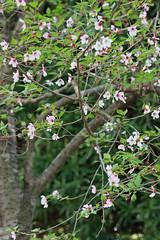 自然環境保全センターのマメザクラ(Cherry blossoms, Nature Preservation Center, Kanagawa, Japan)