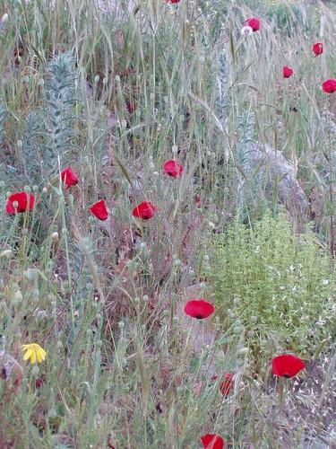 201104180001_poppies
