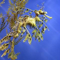 Amazing Leafy Sea Dragons