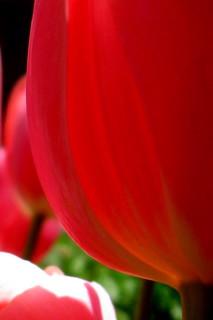 Tulip Closeup, Demuth Museum Garden, Lancaster...