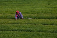 "Planting rice • <a style=""font-size:0.8em;"" href=""http://www.flickr.com/photos/63389963@N08/14287131833/"" target=""_blank"">View on Flickr</a>"