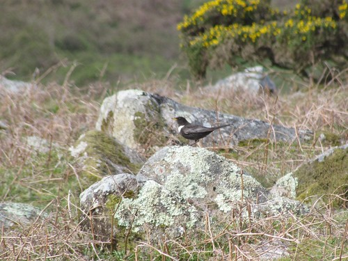 """Ring Ouzel, St Ives, 24.04.14 (V.Stratton) • <a style=""""font-size:0.8em;"""" href=""""http://www.flickr.com/photos/30837261@N07/14001956732/"""" target=""""_blank"""">View on Flickr</a>"""