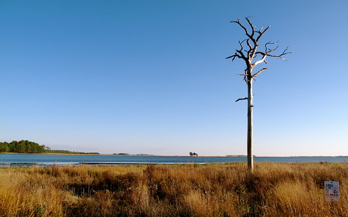 Dead tree in the Blackwater wetlands