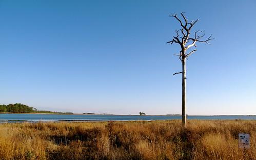 Dead tree in the Blackwater wetlands