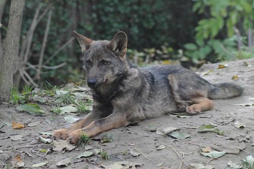 Iberischer Wolf Im Gaia Park Kerkrade im Oktober 2010