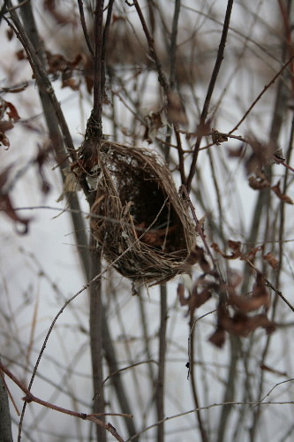 Field Sparrow nest?