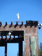 Egret on abandoned shed