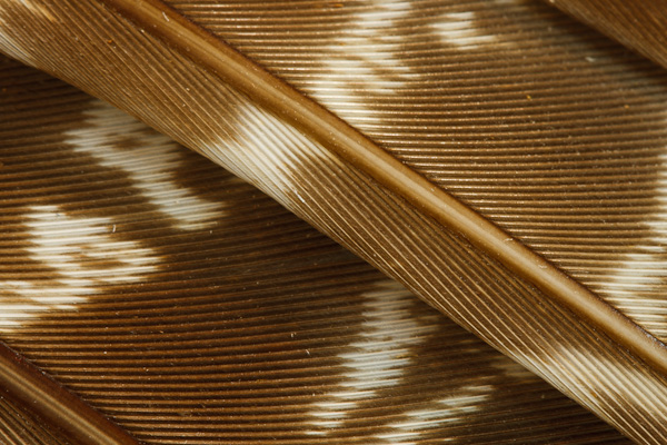 Strong lines in a trio of wing feathers