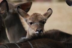 Großer Kudu im Gaia Park Kerkrade im Mai 2010