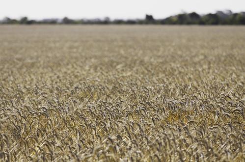 Dry Wheat
