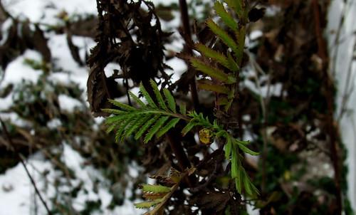 winter tansy 2