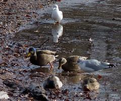 Hybrid Black Duck X Mallard