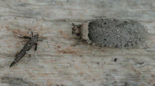 0889 - Two-dotted Agonopterix - Agonopterix argillacea and 07-0639 - Caloptilia stigmatella - Poplar Caloptilia