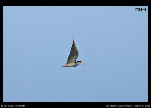 Flying River Tern   Kabini