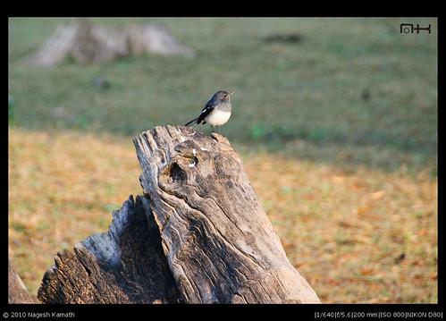 Oriental Magpie Robin | Kabini