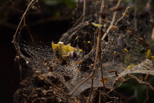 Spiderwebs_Garden