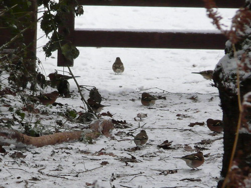 Chaffinches in the snow