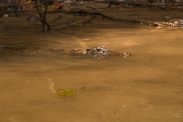 A crocodile in the Daintree River