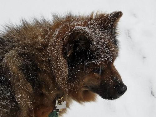Intrepid snow-dog