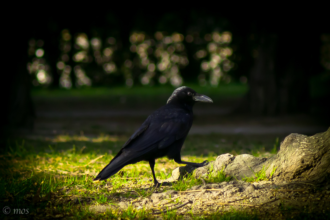 pride (raven)