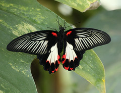 Scarlet Swallowtail