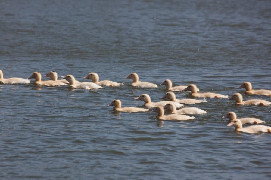 20110205_07_Beautiful Duckling_08