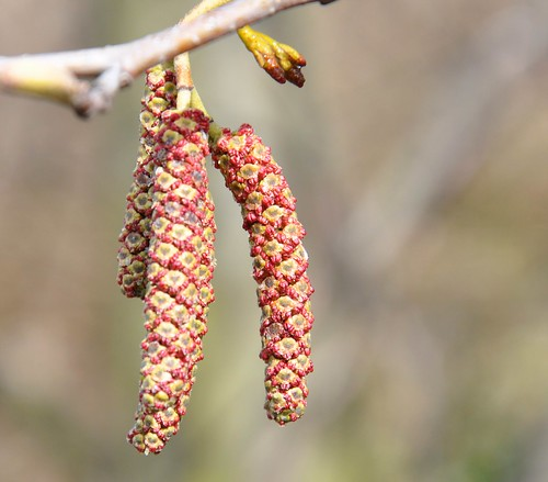 Alder flowers by ngawangchodron