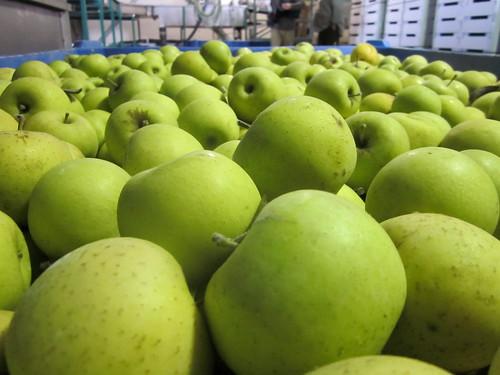 Apple Export at Quneitra Crossing