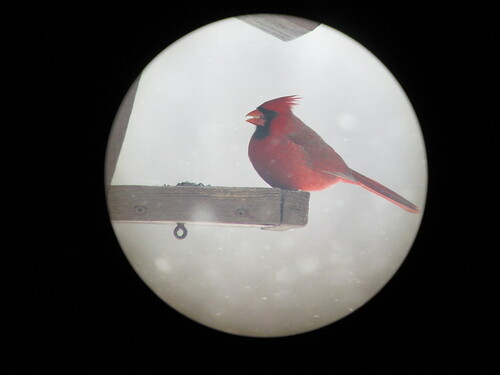 Northern Cardinal - through the spotting Scope