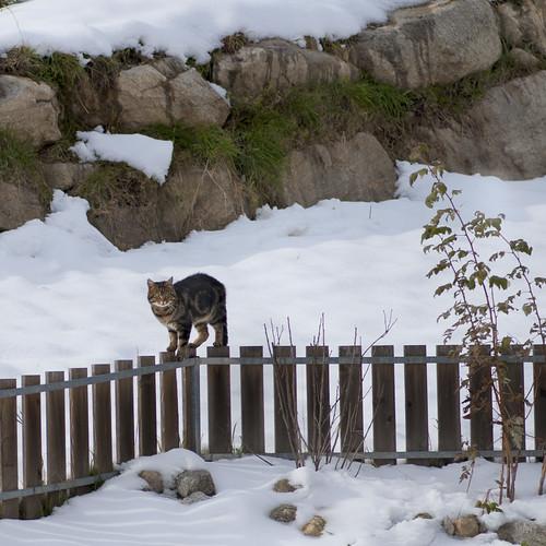 minacce ai confini di Pummaròland: la tigre Obelix