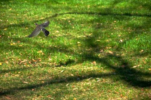 Robin Over Grass