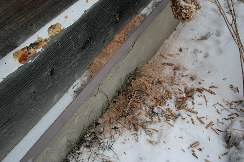 Hairy Woodpecker excavation into carpenter ant colony