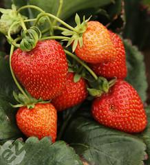 Massive Strawberries!