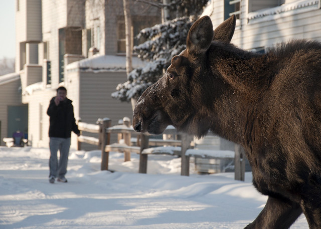 Big Moose on Campus
