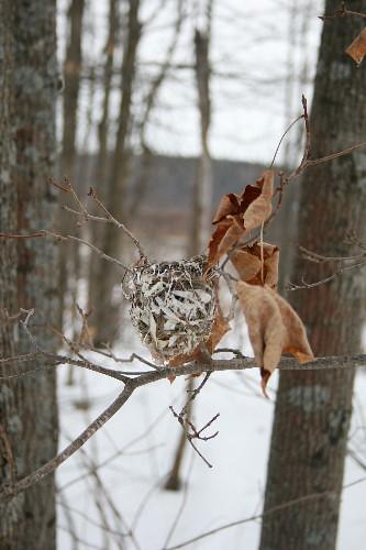 Red-eyed Vireo nest
