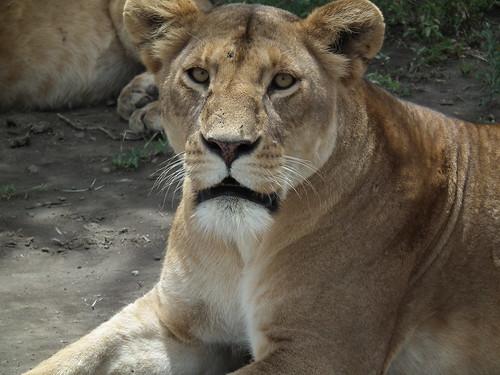 Ngorongoro Conservation Area - Tanzanie 2011 (256)