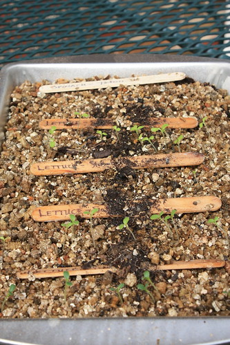 Damp vermiculite with new seedlings sprouting.