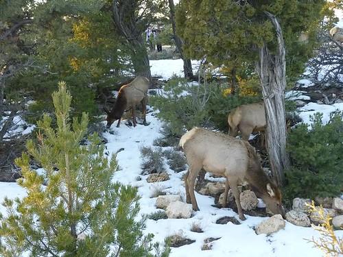 Grand Canyon 220 - Elk Herd 17