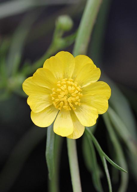 Ranunculus californicus