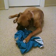JadeTheBoxer chews on running shorts