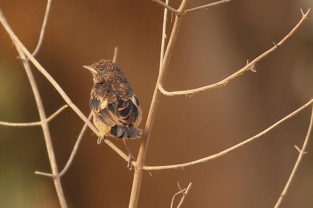 Indian Robin(Female) ?