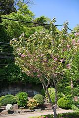 江の島めぐり―花の広場の桜(Cherry blossoms, Enoshima, 2011)