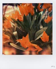PX680 tulips