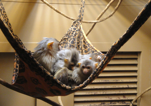 How many monkeys can you fit in a hammock?