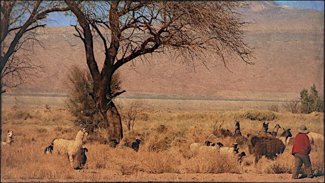 Chilean Alpacas
