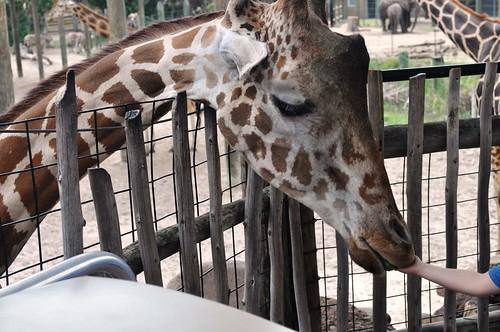 Feeding a Giraffe, Lowry Park Zoo, Tampa, Fla., April 10, 2011