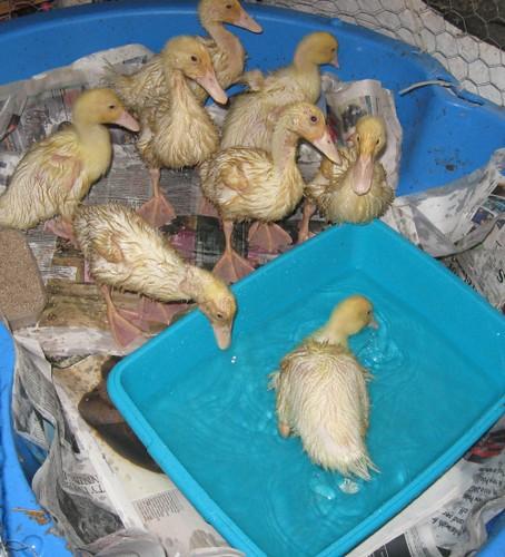 8 ducks