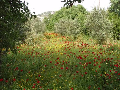 201105010127_poppies