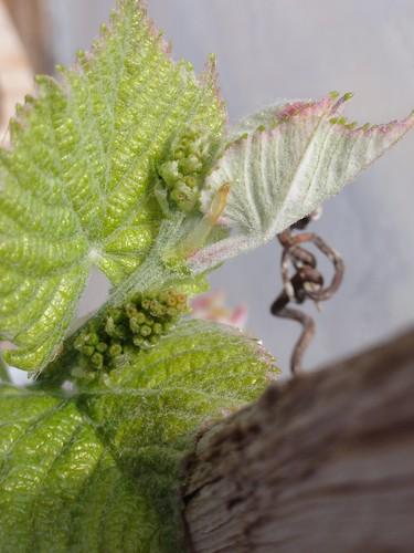 A grape beginning