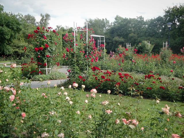 rose garden.